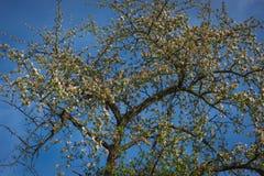 树开了花 免版税库存照片
