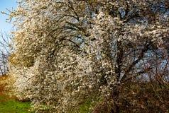 树开花在早期的春天 免版税库存图片