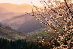树开花在春天山 美好的温暖的平衡的光 免版税库存照片