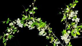 树开花并且退色,与阿尔法通道的定期流逝 股票视频