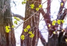 椴树开花特写镜头照片 花进展的树菩提树木自然本底,春天 图库摄影