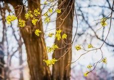 椴树开花特写镜头照片 花进展的树菩提树木自然本底,春天 库存图片