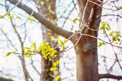 椴树开花特写镜头照片 花进展的树菩提树木自然本底,春天 免版税图库摄影