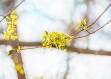 椴树开花特写镜头照片 花进展的树菩提树木自然本底,春天 免版税库存图片
