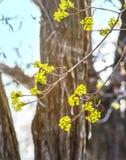 椴树开花特写镜头照片 花进展的树菩提树木自然本底,春天 库存照片