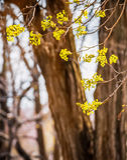 椴树开花特写镜头照片 花进展的树菩提树木自然本底,春天 免版税库存照片