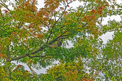 树怠惰在雨林Treee里 免版税库存图片