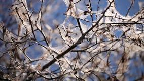 树感染白鼬毛皮飞蛾幼虫 影视素材