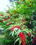 树投下在绿色胳膊的红色珍珠! 免版税库存图片
