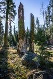 树断枝,拉森火山国家公园 库存照片