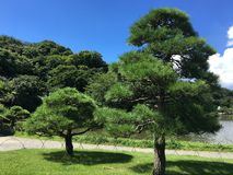 树日本 免版税库存图片