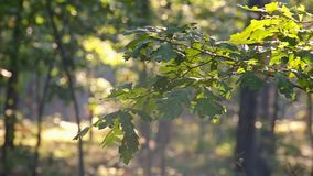 树早晨阳光由后照的分支在有薄雾的森林里 股票视频