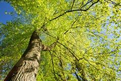 树春天机盖  落叶林,在晴朗的夏天自然 图库摄影