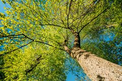 树春天机盖  落叶林,在晴朗的夏天自然 免版税库存图片