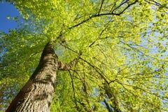 树春天机盖  落叶林,夏天自然晴天 免版税库存照片