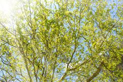 树春天风景反对天空蔚蓝的在一晴朗的好天气 库存照片