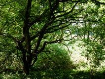 树木天棚叶子在有光的森林里咆哮上面纹理 免版税库存照片