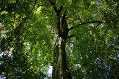 树木天棚 库存图片