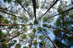 树杉木 免版税库存图片
