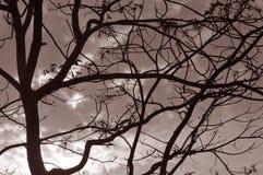 树枝乌贼属口气剪影  免版税图库摄影