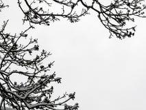 树枝剪影用雪报道的 免版税库存照片