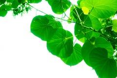 树枝和叶子是绿色的 免版税库存照片