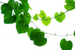 树枝和叶子是绿色的 免版税库存图片