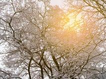 树枝和词根在雪和阳光 免版税图库摄影
