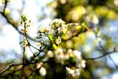 树枝细节和白花在阳光 免版税库存图片