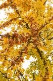 树枝银杏树Biloba的果子成熟 库存图片