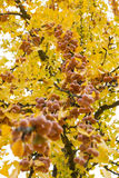 树枝银杏树Biloba的果子成熟 库存照片