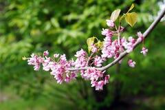 树枝,开花的小桃红色花 免版税图库摄影