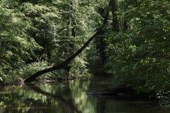树树在水中,在有反射的一个森林里在水sur 免版税库存图片