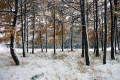 树树干在一个多雪的森林里 库存照片