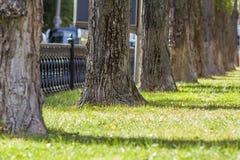 树树干在早晨阳光下停放透视图 老大树行在草坪的一个城市公园有绿草和秋天的 免版税库存照片