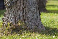 树树干在早晨阳光下停放透视图 老大树行在草坪的一个城市公园有绿草和秋天的 库存图片
