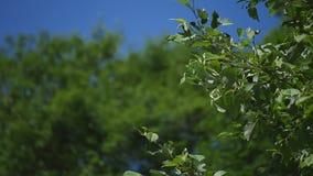 树树枝与年轻绿色的在微风的蓝天背景离开 选择聚焦 影视素材