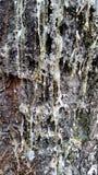 树树汁 库存图片
