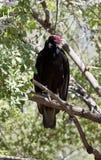 从树栖息处的火鸡兀鹰电话 免版税库存照片