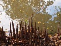 树根和河 免版税库存图片