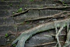 树根和石头有青苔背景 在-增长的木头的老岩石 古老砖墙 库存照片