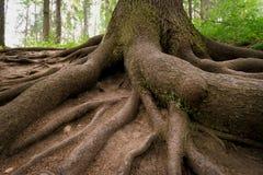 树根在夏天森林里 库存图片