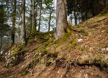 树根在森林里 免版税库存照片