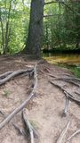 树根在森林里 图库摄影