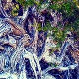 树根源复杂扭转的被连根拔的常青自然 免版税库存图片