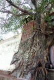 树根源覆盖物墙壁 免版税库存图片