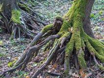 树根长满与青苔在秋天期间在德国森林里 免版税库存图片