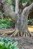 树根,悬铃树树干 免版税库存照片