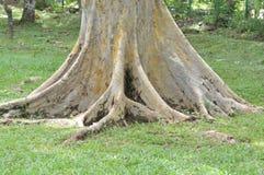 树根  免版税图库摄影