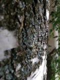 树桦树 免版税图库摄影
